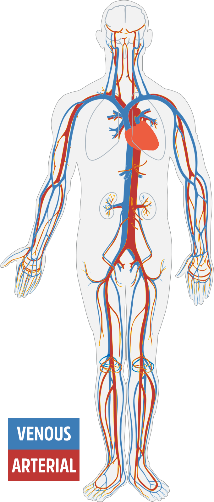 A diagram of the vascular system